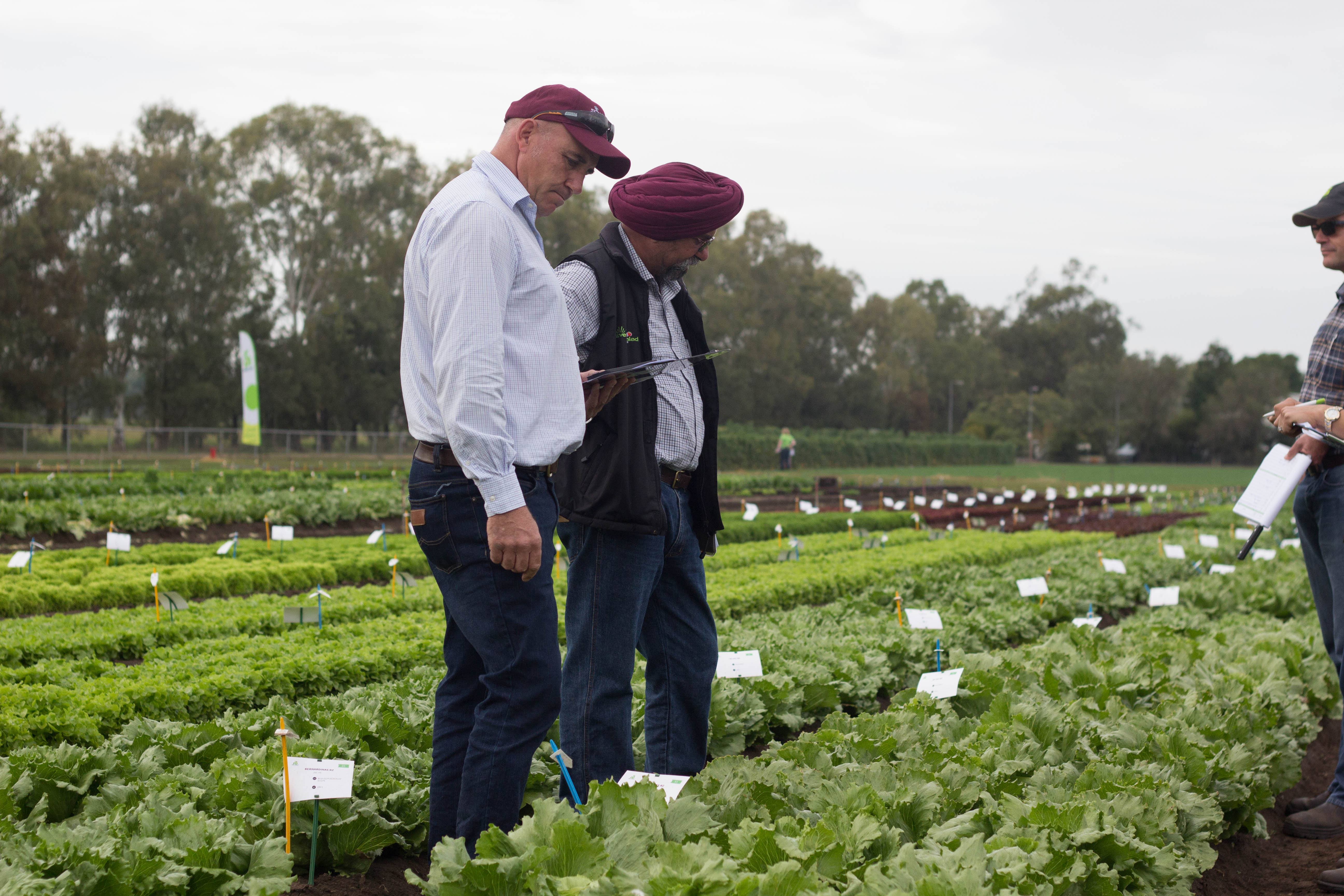 Harry Turna walking through a lettuce trial in Gatton with customers and colleagues