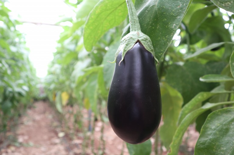 The high-yielding, market leading eggplant variety Monarca is a proven performer suitable for spring and winter protected cultivation in tunnels and greenhouses, Rijk Zwaan